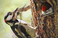Great Spotted Woodpecker Nest